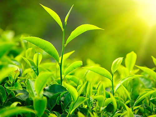 """Trà xanh là """"thần dược"""" quý giá mà thiên nhiên ban tặng cho sức khỏe làn da."""