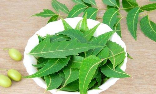 Lá neem là loại thảo dược khá dễ tìm, lại có tác dụng trị mụn hiệu quả.