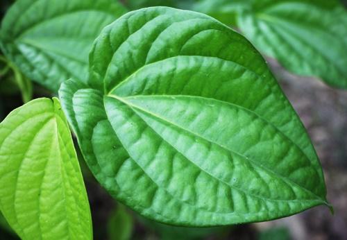 Lá trầu không có tác dụng kháng viêm và giải quyết được vấn đề khử mùi hôi nách hiệu quả.
