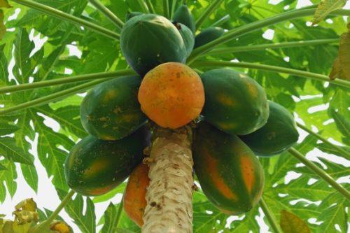 Lựa chọn những trái đu đủ chín rồi nghiền nát để thoa lên các nốt mụn sẽ mang lại công dụng bất ngờ