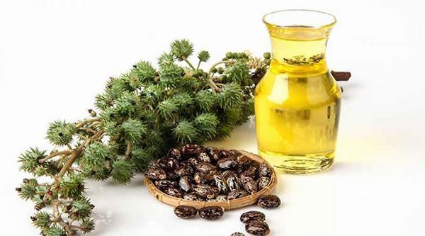 Quả dầu thầu dầu chứa các chất giúp làm mờ nốt ruồi hiệu quả