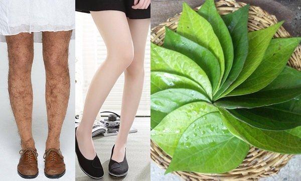 Lông chân sẽ rụng dần nhờ thường xuyên tẩy lông hiệu quả với công thức từ lá trầu không